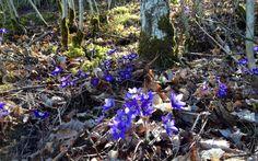 """Yksinkertainen on kaunista ©Tintti: """"Kevään ensimmäiset sinivuokot."""""""