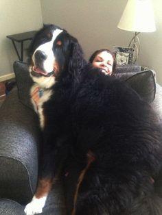 14 énormes chiens qui se croient tout petits… MDR! – TFI