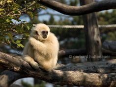 White handed gibbon Zoo Schönbrunn Vienna by gerhards on Etsy, Tiergarten Schönbrunn, Panda Bear, Vienna, Etsy, This Or That Questions, Digital, Pictures, Photography, Image