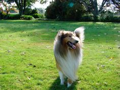 One happy Collie - Jasper Rough Collie, Collie Dog, The Perfect Dog, Sheltie, Doggies, Jasper, Beautiful Pictures, I Am Awesome, Coat