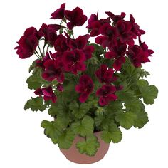 Regalia Dark Red * | Hendriks Young Plants