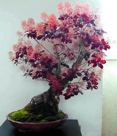 Smoke-Tree-Bush-Cotinus-coggygria-30-seeds-BONSAI