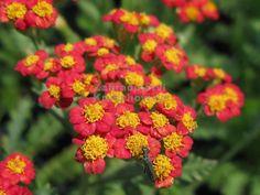 Common Yarrow 'Walther Funcke' (Achillea millefolium)