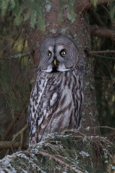 I know my face looks flat but I'm sure, I did not fly hitting the trunk of a tree. Great grey owl