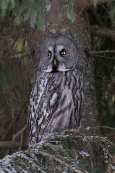 Nice owl shot, Strix Nebulosa
