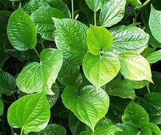 betel leaf plant atau daun suruh hijau