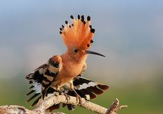 hoopoe photo by davidgois