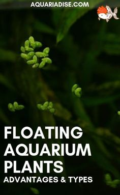 Floating plants are appreciated by your fish and beneficial to your tank. Find out how to grow floating aquarium plants and what the most popular types are! Aquarium Set, Betta Aquarium, Home Aquarium, Aquarium Design, Planted Aquarium, Betta Fish, Aquarium Ideas, Aquarium Lighting, Freshwater Aquarium Plants