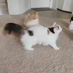 Funny Cute Cats, Cute Baby Cats, Cute Little Animals, Cute Cats And Kittens, Cute Funny Animals, Kittens Cutest, Pet Cats, Cute Animal Videos, Funny Cat Videos