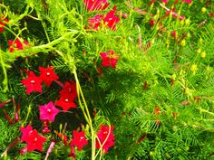 For the trellis: Cardinal Vine (aka Cypress vine or Hummingbird vine) Hummingbird Feeder Recipe, Cypress Vine, Humming Bird Feeders, Front Yard Landscaping, Tatt, Trellis, Vines, Gardens, Herbs