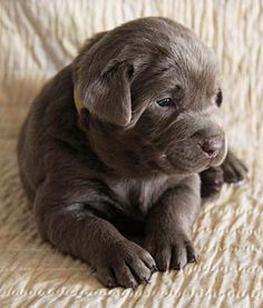 Mind Blowing Facts About Labrador Retrievers And Ideas. Amazing Facts About Labrador Retrievers And Ideas. Tiny Puppies, Cute Puppies, Cute Dogs, Chocolate Lab Puppies, Chocolate Labs, Tier Fotos, Cute Baby Animals, I Love Dogs, Yorkie