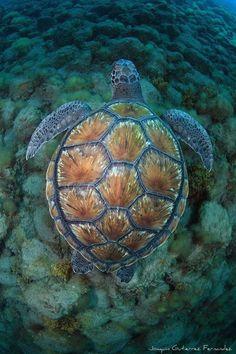 Sea turtle LOVE: the beach shell Beautiful Creatures, Animals Beautiful, Cute Animals, Animals Sea, Baby Animals, Turtle Love, Mundo Animal, Tier Fotos, Reptiles And Amphibians