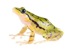New Striped Rain-Frog Species Discovered in Ecuador's Cloud Forests