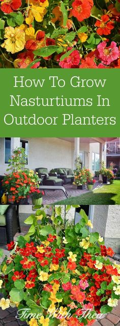 How To Grow Nasturtiums In Outdoor Planters ~ Easy to grow from seed nasturtium blooms make a stunning outdoor display trailing down tall outdoor planters! / timewiththea.com