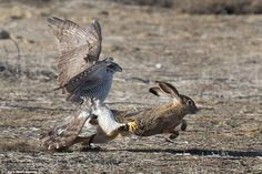 Rabbit escapes a goshawk at Central Valley in California | Daily Mail Online