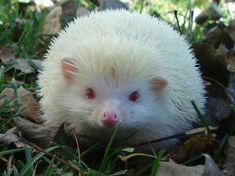 Albino hedgehog I know people following me aren't happy w\/ all the albino animals but I want to pin them so enjoy