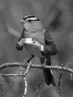 white crowned sparrow having tea...