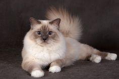 Burmese cat 19 pictures (9)