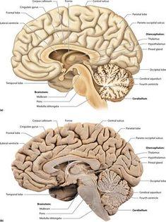 Nerve Anatomy, Human Anatomy Art, Brain Anatomy, Human Anatomy And Physiology, Medical Anatomy, Anatomy Study, Body Anatomy, Brain Stem, Brain Science