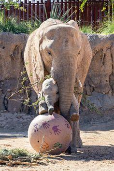 Image Elephant, Elephant Love, Majestic Animals, Animals Beautiful, Cute Baby Animals, Funny Animals, Wild Animals, Baby Elephant Tattoo, Elephas Maximus