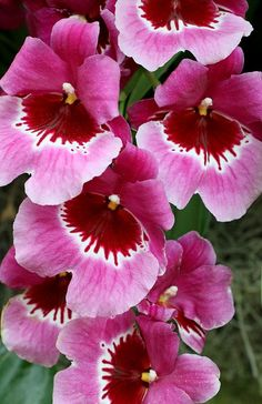 ^Pansy Orchid