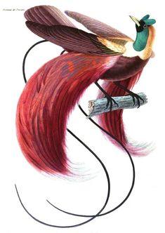Cet oiseau au plumage magnifque vit en Indonésie. Dès le 19e siècle, sa population décroit fortement : ses plumes sont recherchées par les européens qui en font le commerce et l'espèce est aussi chassée par les locaux. Aujourd'hui encore, l'espèce est considérée menacée en raison du faible nombre de sa population et de la dégradation de son habitat du aux perturbations liées à l'activité humaine #numelyo #volatile #oiseau #faune