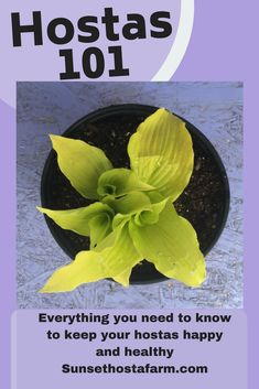 Urban Gardening Ideas Hostas Whether you are new to hostas or already a Hostaholic, the information in this article will help you keep your hosta perennials happy and healthy. Hostas are a great idea for any shady or semi shade garden! Organic Gardening, Pretty Plants, Plants, Urban Garden, Growing Vegetables, Potting Soil, Perennials, Hostas, Gardening Tips