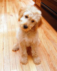 Goldendoodles...how could you possibly not love that face?!