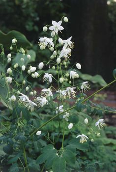Thalictrum delavayi 'Album' - Google Search