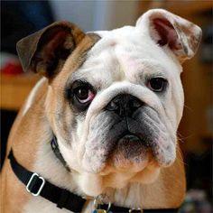fotos de perros bulldog