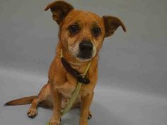 SUPER URGENT - 15 YRS OLD!!** OWNER SURR MAGNETO – A1097993  NEUTERED MALE, TAN, CHIHUAHUA SH MIX, 15 yrs OWNER SUR – ONHOLDHERE, HOLD FOR ID Reason LLORDPRIVA