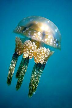 Papuan Jellyfish (Mastigias Papua) by Hiroya Minakuchi