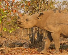 Black Rhino - Matusadona, Zimbawe / por Ken Watkins en 500px Rhinos, Zimbabwe, Amazing Places, The Good Place, Followers, Safari, National Parks, Wildlife, Elephant