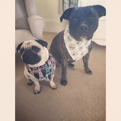 'Puggin hell' mum what did you say ... We have 5k followers... A massive thank you to all our friends for following our journey & all the love you've given us throughout..So we're going to do a 5k giveaway say Mabel & Brian .. Mum will post the details later.. (That's probably cos she doesn't know what we're going to do yet.. ) #frankhumpmeplease #feature_do2 #dogsofinstagram #pugmob #pugnation #zerozeropug #puglove #smilingpugs #pugrequest #flatnosedogsociety #Thetomcoteshow #pugsandkisses…
