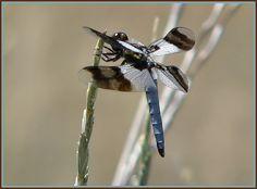 desert whitetail dragonfly male
