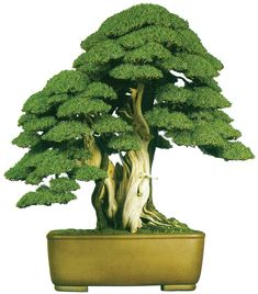 Needle Juniper Bonsai by Shinji Suzuki and something similar to be made by me…