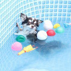 H e l p  Choco #chihuahua @love_chocopal  . 足がつくことに気がついてしまったチョコ氏 ちょっと真顔の助けて顔がかわゆいね #regram#わんこ#swimdog#summerdog#cutedog#トレッサ横浜 . 記事に登場してくれるワンコを募集#inulog をつけて投稿してね 美犬写真は#wooftodayFOLLOW @inulog.jp