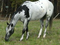 Pintaloosa, or a pretty Appaloosa with an unusual patch?