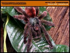 Tarantula hispanica $15 christmas gift ideas