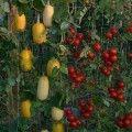 Légumes grimpants ©inconnu