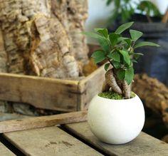 手のひらサイズのミニ盆栽【ガジュマル】