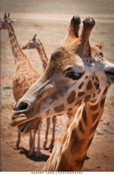 """giraffes - """"Those two are talkin' about me I just know it. Giant Giraffe, Giraffe Art, Giraffe Family, Giraffe Pictures, Animal Pictures, Wildlife Photography, Animal Photography, Okapi, Wild Creatures"""