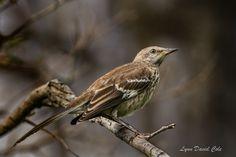 Moqueur Polyglotte // Spottdrossel // Northern Mockingbird (Mimus Polyglottos) © Lynn David Cole #birds #oiseaux