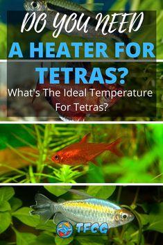 Aquarium Heater, Aquarium Setup, Aquarium Fish, Neon Tetra, Tetra Fish, Fish Care, Tropical Fish, Continue Reading, How To Find Out