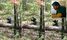 Pictured: Menacing approach of 302-pound killer black bear, captured by the 22-year-old hiker it mauled to death minutes later #DailyMail