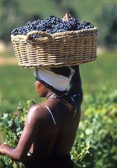 Lady is carrying a basket of grapes for South African wine / Работница винной фермы с корзиной винограда предназначеного для создания Южно-Африканского вина