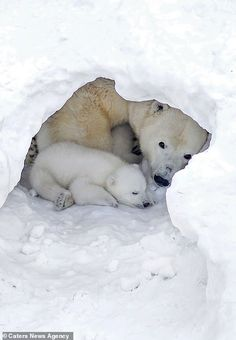 Two polar bear cubs frolic in the snow with their patient mother at a Russian zoo Baby Polar Bears, Cute Polar Bear, Cute Baby Animals, Animals And Pets, Wild Animals, Beautiful Creatures, Animals Beautiful, Bear Cubs, Grizzly Bears