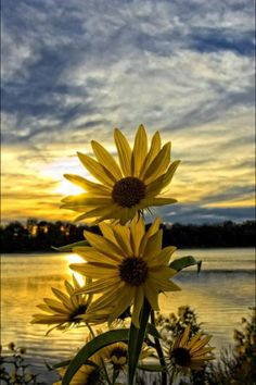 Sunflowers with ocean and sunset in background