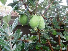 The Pineapple Guava Guava Fruit Tree, Pineapple Guava Tree, Guava Plant, Pineapple Images, Fruit Trees, Pineapple Wallpaper, Mediterranean Garden, Wallpaper Free Download, Flower Images