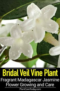 Avert, Manage, And Eliminate Black Mildew Madagascar Jasmine: Bridal Veil Vine Plant Fragrant Stephanotis Flower Indoor Flowering Plants, Indoor Flowers, Flowering Vines, Potted Plants, Growing Flowers, Planting Flowers, Flower Gardening, Gardening Tips, Flower Plants